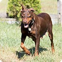 Adopt A Pet :: OLYMPIA - Greensboro, NC