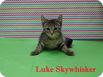 Domestic Shorthair Cat for adoption in Bucyrus, Ohio - Luke Skywhiskers