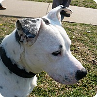 Shepherd (Unknown Type)/American Staffordshire Terrier Mix Dog for adoption in Denver, Colorado - Piston