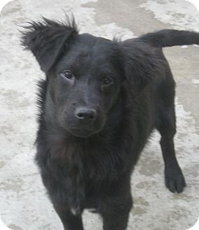 Spaniel (Unknown Type)/Border Collie Mix Puppy for adoption in Chicago, Illinois - Ian(ADOPTED!)