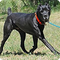Adopt A Pet :: Maximus - Phoenix, AZ