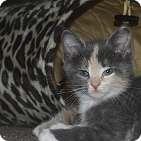 Adopt A Pet :: Rondee - Loveland, CO