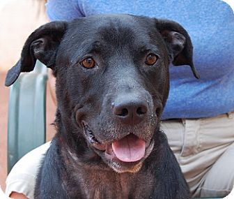 Labrador Retriever Mix Dog for adoption in Las Vegas, Nevada - Dennis