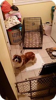 Cavalier King Charles Spaniel/Japanese Chin Mix Dog for adoption in Brooklyn, New York - Benji