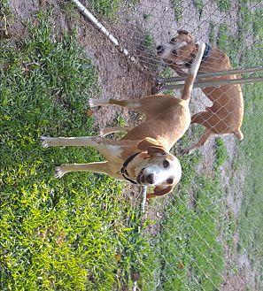 Hound (Unknown Type) Mix Dog for adoption in Bloomfield, New Jersey - Allie