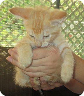 Domestic Shorthair Kitten for adoption in New Smyrna Beach, Florida - Little Bit