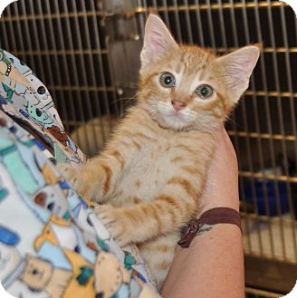 Domestic Shorthair Kitten for adoption in Sunrise Beach, Missouri - Cheese