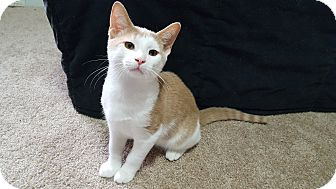 Domestic Shorthair Kitten for adoption in Carlisle, Pennsylvania - Biscuit