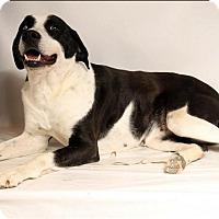 Adopt A Pet :: Oreo-Adoption pending - Bridgeton, MO