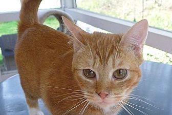 Domestic Shorthair Cat for adoption in Durham, North Carolina - Buddha