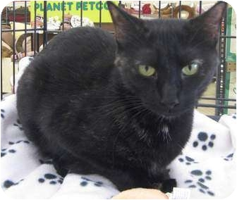Domestic Shorthair Cat for adoption in McHenry, Illinois - Lily