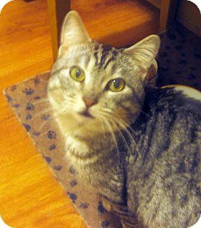 Domestic Shorthair Cat for adoption in Irvine, California - Raccoon