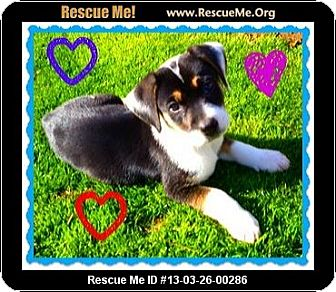 Anatolian Shepherd/Border Collie Mix Puppy for adoption in Scottsdale, Arizona - Danny Boy