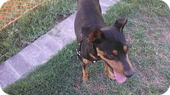 Miniature Pinscher Dog for adoption in Gilbert, Arizona - Dino