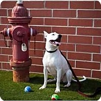 Bull Terrier/American Pit Bull Terrier Mix Dog for adoption in Dyer, Indiana - Jasmine