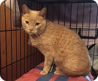 Domestic Shorthair Cat for adoption in Brooklyn, New York - Nelly