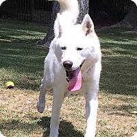 Adopt A Pet :: ATHENA - Ojai, CA