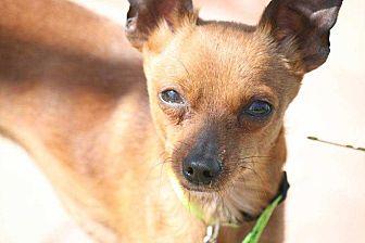 Miniature Pinscher/Chihuahua Mix Dog for adoption in Richmond, Kentucky - Copper