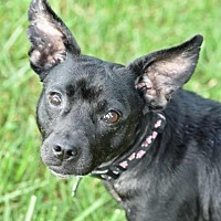Chihuahua Mix Dog for adoption in Mt. Vernon, Indiana - Mango