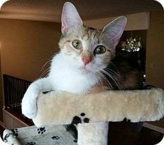 Calico Cat for adoption in Bartlett, Tennessee - Mimi