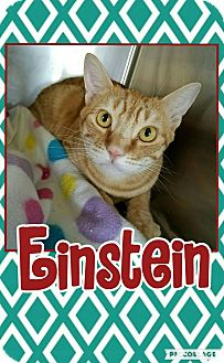 Domestic Shorthair Kitten for adoption in Edwards AFB, California - Einstein