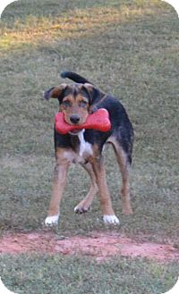 Beagle Mix Puppy for adoption in Southbury, Connecticut - Austin