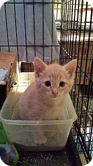 Domestic Shorthair Kitten for adoption in Clarkson, Kentucky - Chess