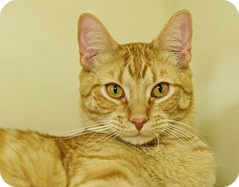 Domestic Shorthair Cat for adoption in Great Falls, Montana - Dandy