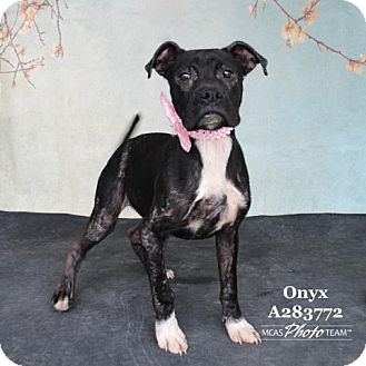 Pit Bull Terrier/Boxer Mix Dog for adoption in Conroe, Texas - ONYX