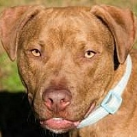 American Staffordshire Terrier Mix Dog for adoption in Chattanooga, Tennessee - Benji