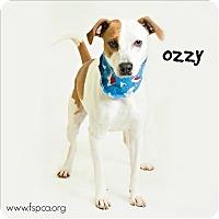 Adopt A Pet :: Ozzy/clark - Troy, VA