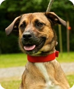 Shepherd (Unknown Type)/Labrador Retriever Mix Dog for adoption in Lebanon, Maine - Roxy-URGENT in NJ