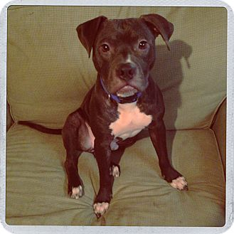 Boxer Mix Puppy for adoption in Louisville, Kentucky - Oliver