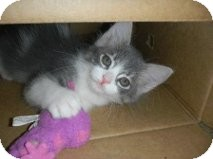 Maine Coon Kitten for adoption in Huffman, Texas - Minnie