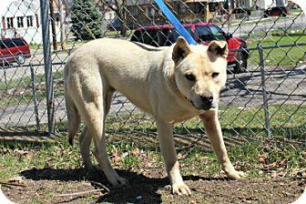 Labrador Retriever/Shiba Inu Mix Dog for adoption in Grand Rapids, Michigan - Betsy