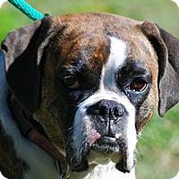Adopt A Pet :: Callie - Providence, RI
