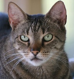 Domestic Shorthair Cat for adoption in North Fort Myers, Florida - Thing (Ting Ting)