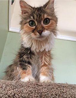 Domestic Longhair Cat for adoption in Philadelphia, Pennsylvania - APRICOT!