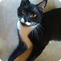 Domestic Shorthair Cat for adoption in Visalia, California - Stash