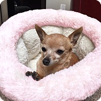 Chihuahua Mix Dog for adoption in Redondo Beach, California - Izzy is tiny!