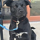 Adopt A Pet :: Okie - Foster needed
