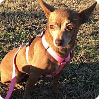 Chihuahua/Chihuahua Mix Dog for adoption in FORT WORTH, Texas - PENELOPE