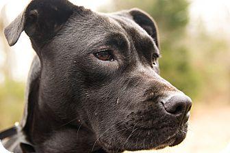 Boxer/Labrador Retriever Mix Dog for adoption in Westport, Connecticut - *Raven - PENDING