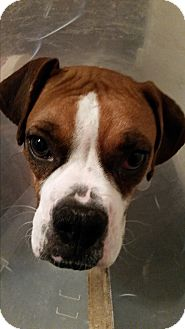 Boxer Dog for adoption in Hesperia, California - Harmony