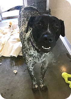 German Shorthaired Pointer Mix Dog for adoption in Wilmington, Delaware - Barney