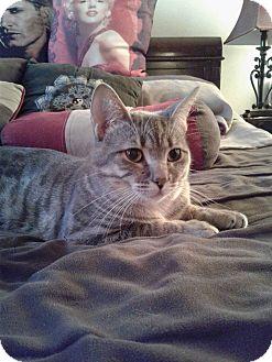 Domestic Shorthair Cat for adoption in THORNHILL, Ontario - Dalton