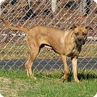 Adopt A Pet :: Bella  (HW Pos)** - Henderson, NC