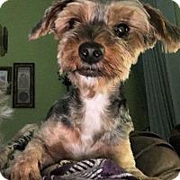 Adopt A Pet :: Nayeli Bella - McKinney, TX