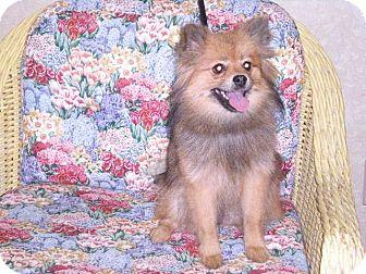 "Pomeranian Dog for adoption in New Castle, Pennsylvania - "" Cocoa """