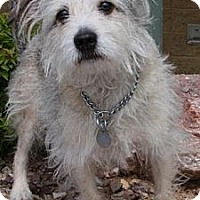 Fox Terrier (Wirehaired)/Jack Russell Terrier Mix Dog for adoption in Gilbert, Arizona - Lucee